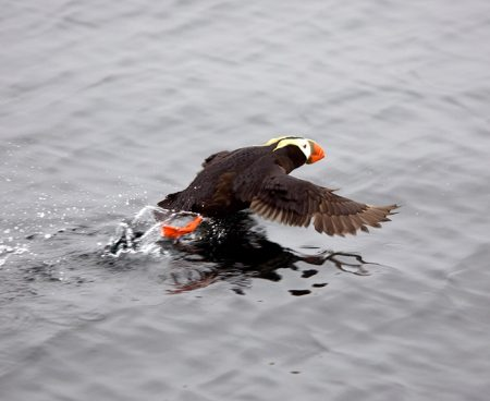 https://truealaskantours.com/wp-content/uploads/2015/12/AUC-7-puffin-take-off-1-450x368.jpg