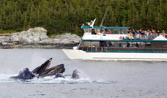 https://truealaskantours.com/wp-content/uploads/2015/12/WWWQ-4-whales-bubblenet-feeding1-559x327.jpg